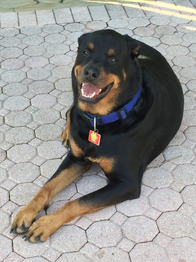 Meet D.O.G. - Rottweiler